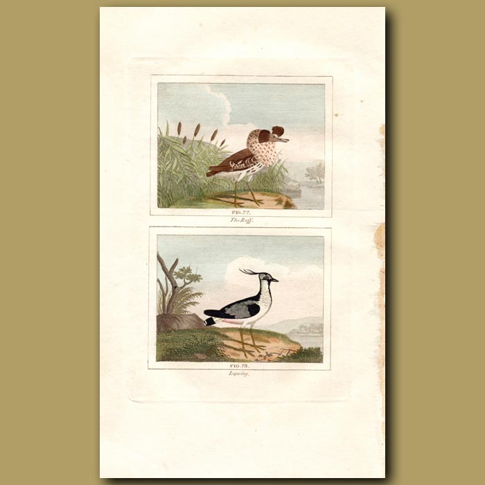 Antique print. Ruff and Lapwing