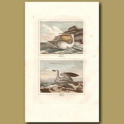 Pelican And Albatross