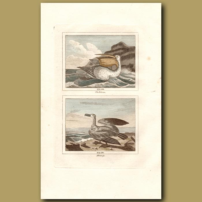 Antique print. Pelican and Albatross