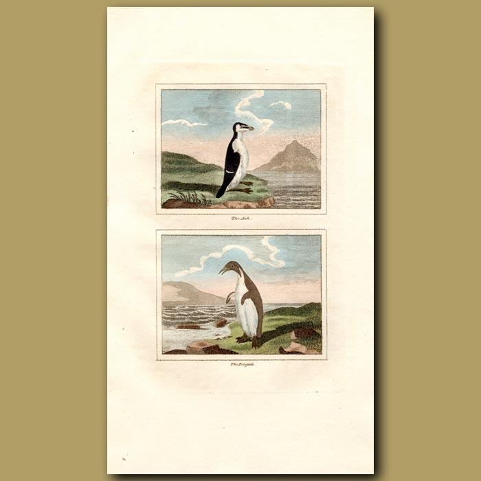 Antique print. Auk and Penguin