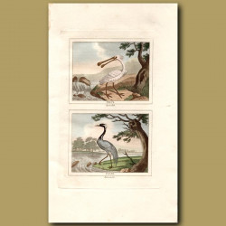 Spoonbill And Crane