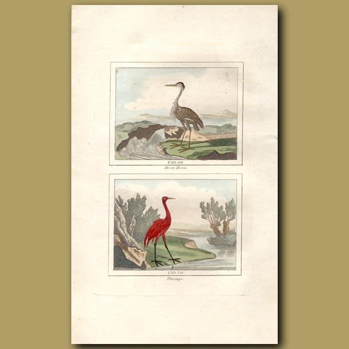 Antique print. Brown Heron and Flamingo