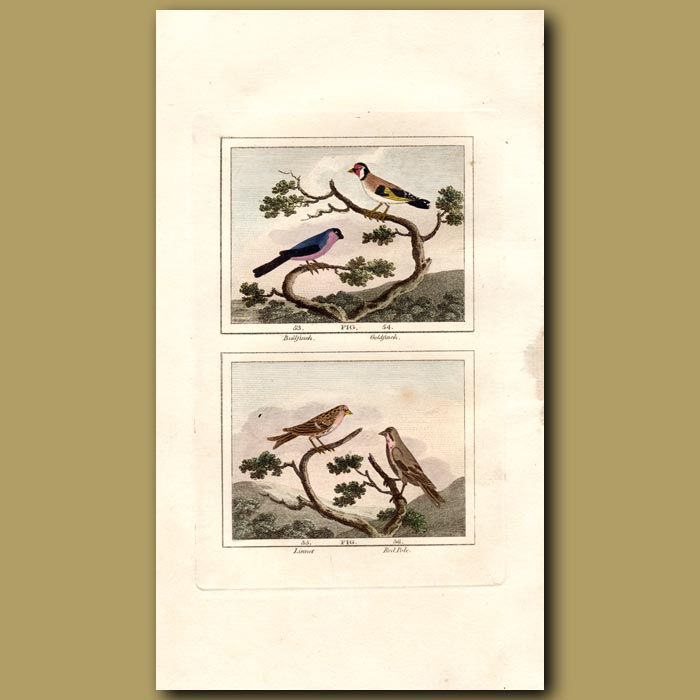 Antique print. Bullfinch, Goldfinch, Linnet and Red Pole