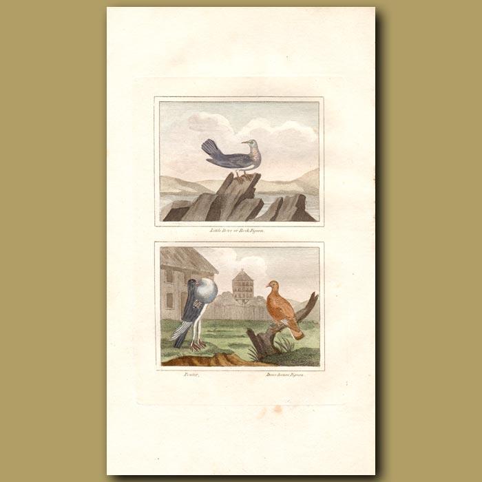 Antique print. Little Dove, Powter and Dovehouse Pigeon