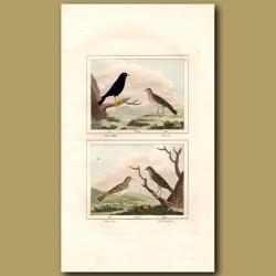 Blackbird, Thrush, Sky Lark And Nightingale