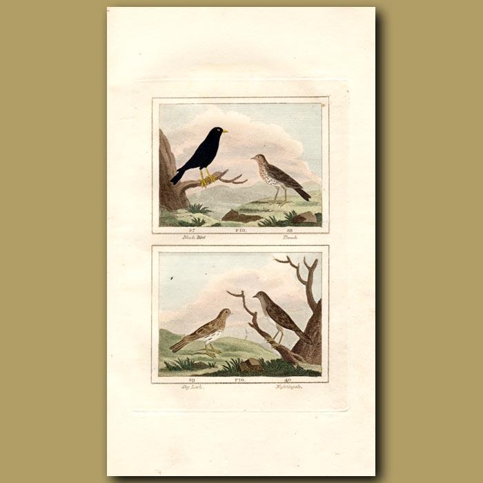 Antique print. Blackbird, Thrush, Sky Lark and Nightingale