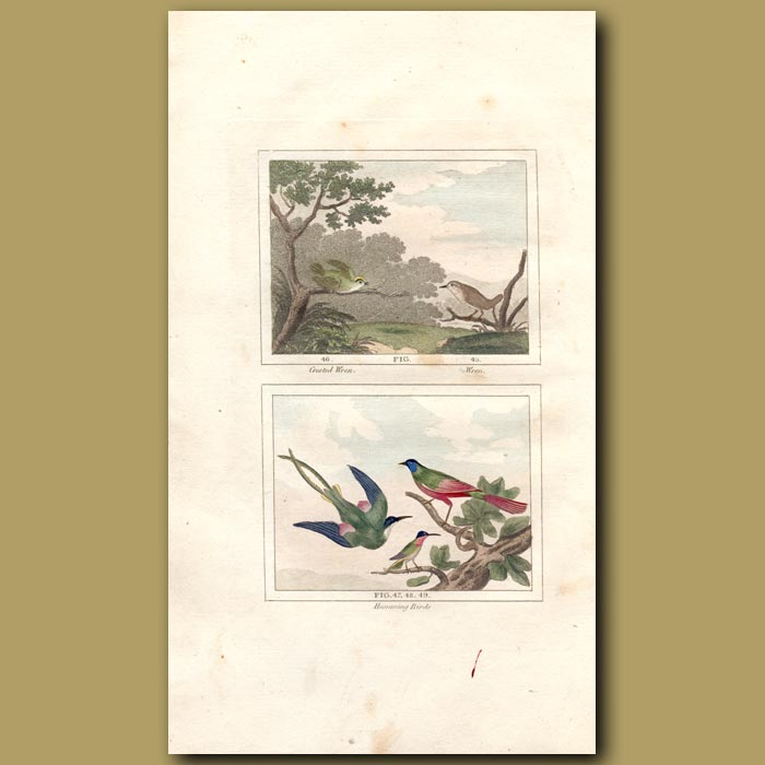 Antique print. Crested Wren, Wren and Hummingbirds