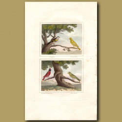Chaffinch, Canary, Virginian Cardinal And Green Finch