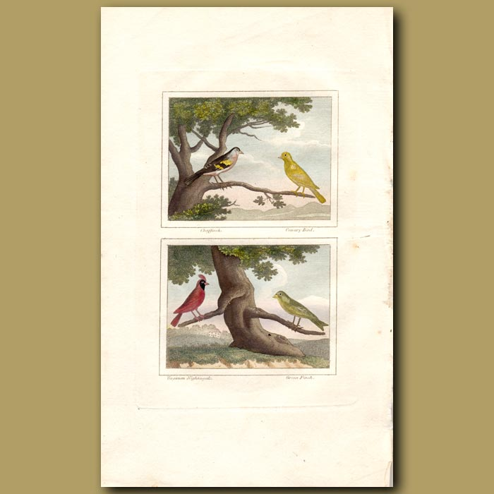 Antique print. Chaffinch, Canary, Virginian Cardinal and Green Finch