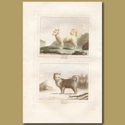Wolf and Siberian Husky