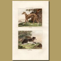 Greyhound and Collie (Shepherd's Dog)