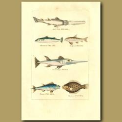 Saw Fish, Mackerel, Gudgeon, Sword Fish, Tunny And Turbot