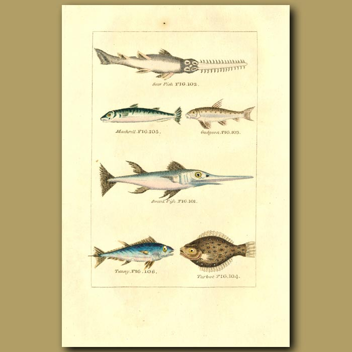 Antique print. Saw Fish, Mackerel, Gudgeon, Sword Fish, Tunny And Turbot