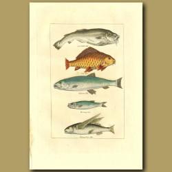 Cod, Carp, Salmon, Herring And Flying Fish