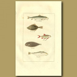 Barbel, Flounder, Roach, Sole And Whiting