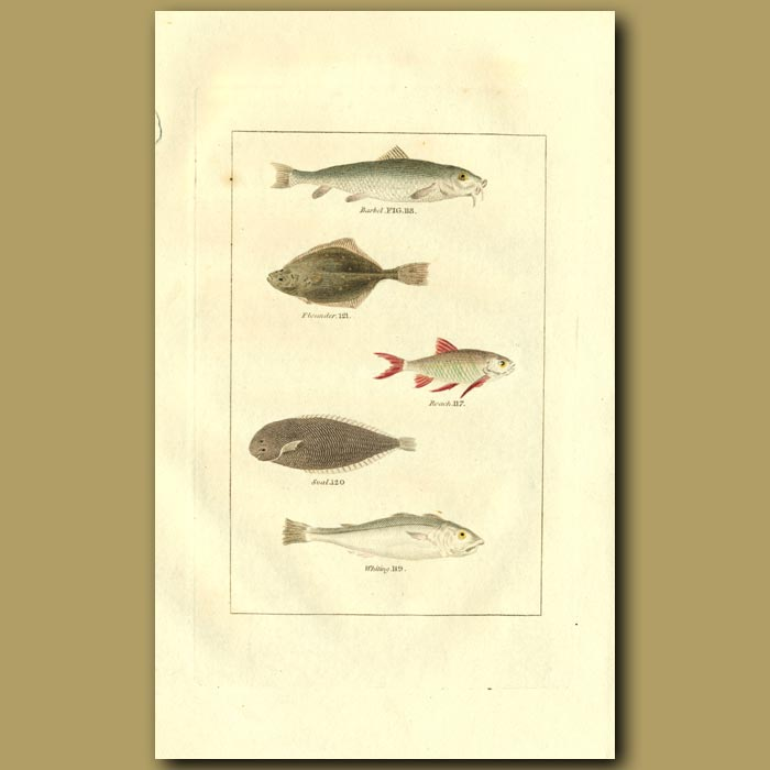 Antique print. Barbel, Flounder, Roach, Sole And Whiting