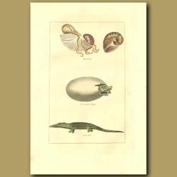 Nautilus, Crocodile Egg And Crocodile