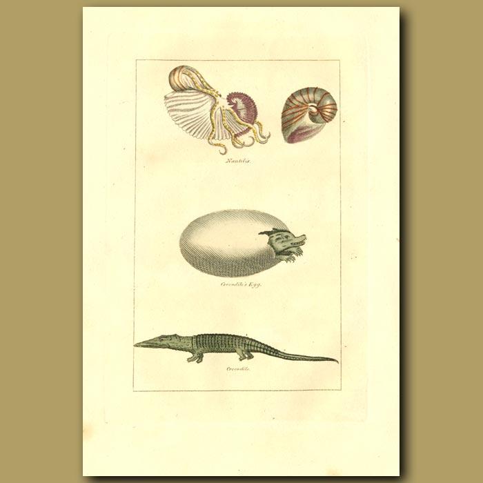 Antique print. Nautilus, Crocodile Egg And Crocodile