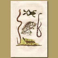 Frog, Chameleon, Salamander and Rattlesnake