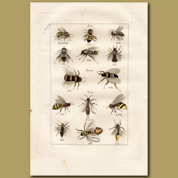 Bees, Wasps and Hornets