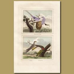 Tropic Birds, Cuckoo and Woodpecker