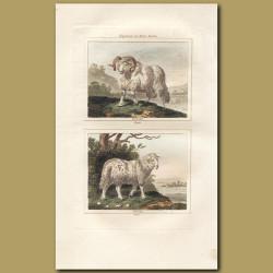 Sheep: Ram and Ewe