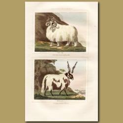 Sheep: Wallachian Rams