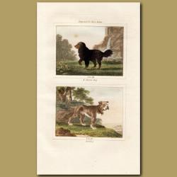 King Charles Spaniel and Bulldog