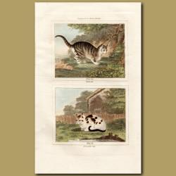 Wild Cat and Domestic Cat