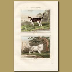 Spanish Cat and Angora Cat