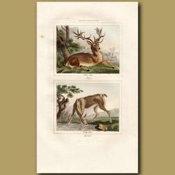 Deer: Stag and Hind