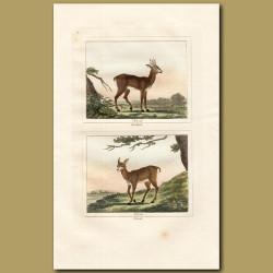 Roebuck Deer