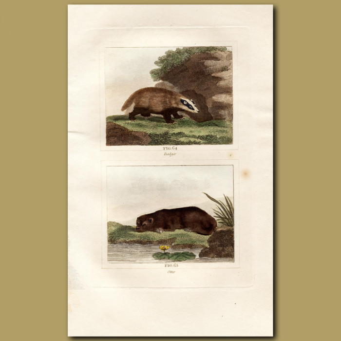 Antique print. Badger and Otter