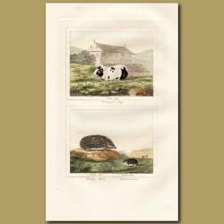 Guinea Pig and Hedgehog