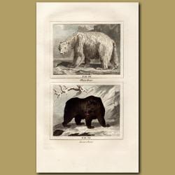 Polar Bear and Brown Bear