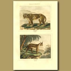 Panther And Caracal