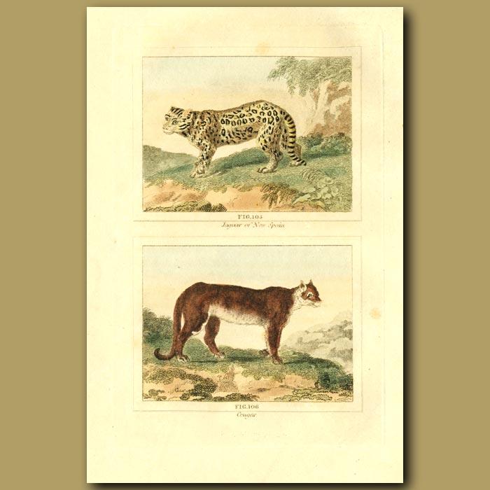 Antique print. Jaguar Of New Spain And Cougar