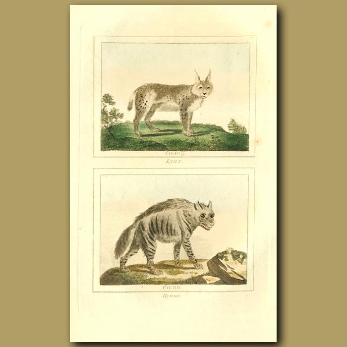 Antique print. Lynx And Hyaena