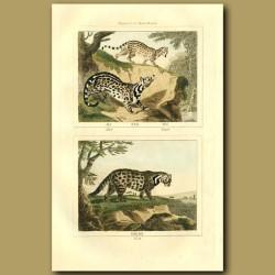 Zibet, Genet And Civet