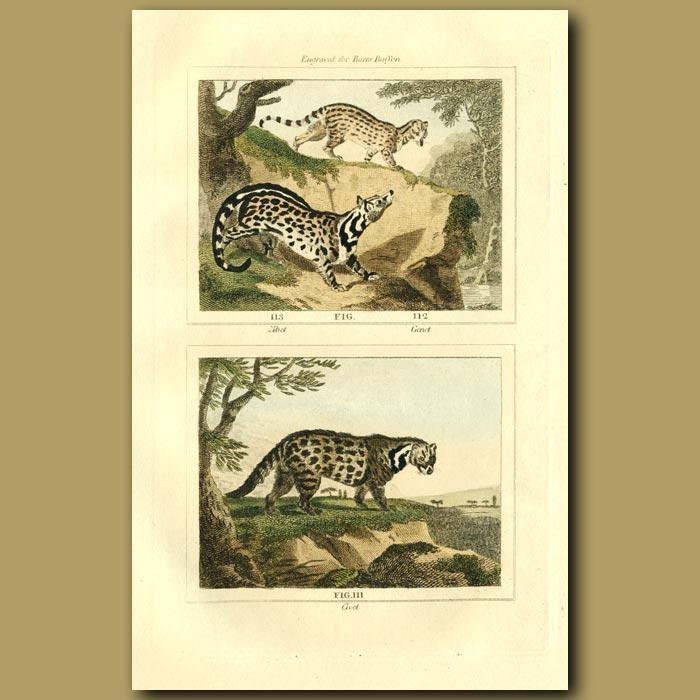 Antique print. Zibet, Genet And Civet