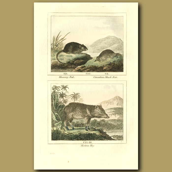 Antique print. Muscovy Rat, Canadian Musk Rat And Mexican Hog