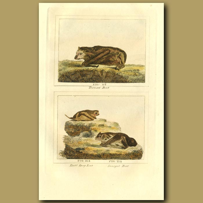 Antique print. Ternat Bat, Bull Dog Bat And Senegal Bat