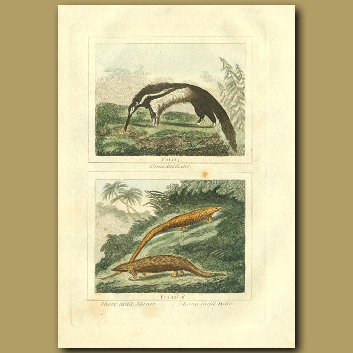 Antique print. Great Ant Eater, Short Tailed Manis And Long Tailed Manis