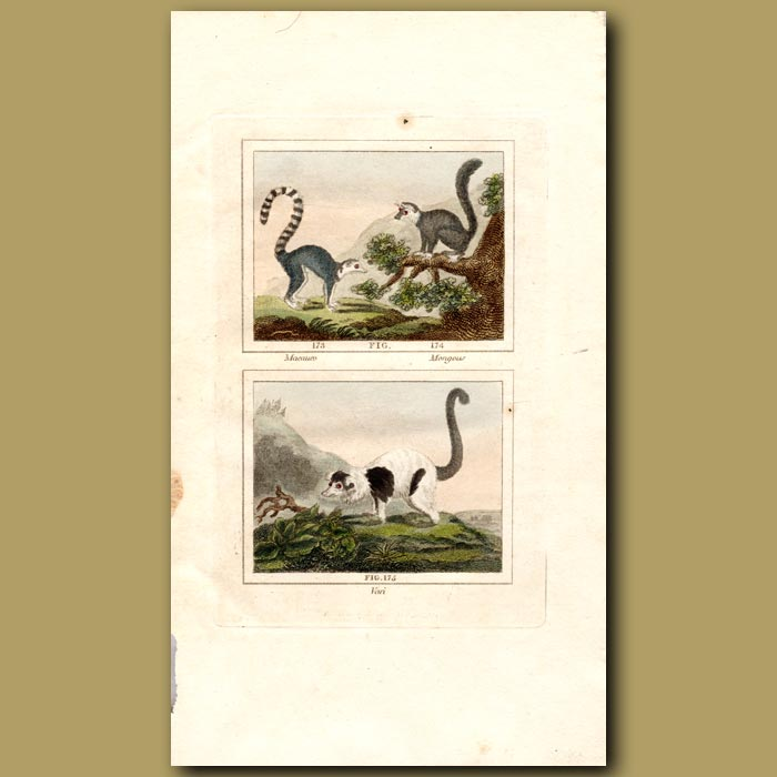Antique print. Lemurs