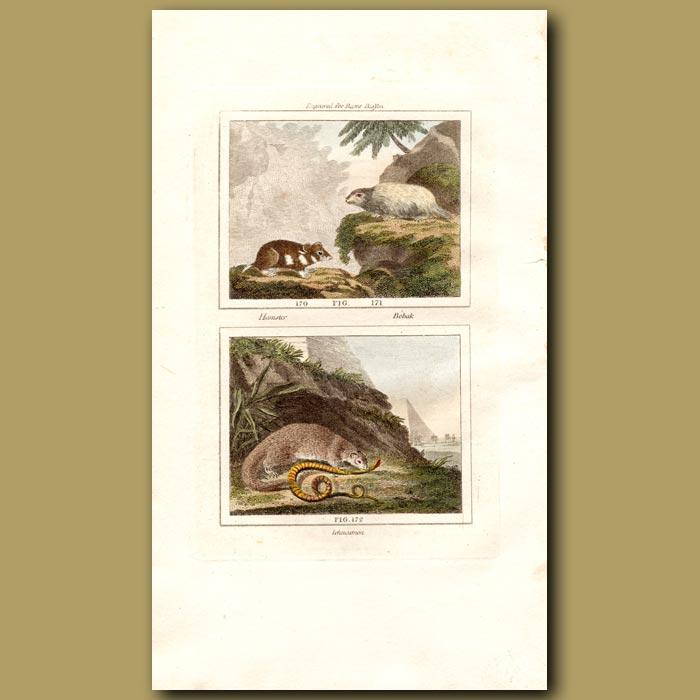 Antique print. Hamster, Bobak and Ichncumon