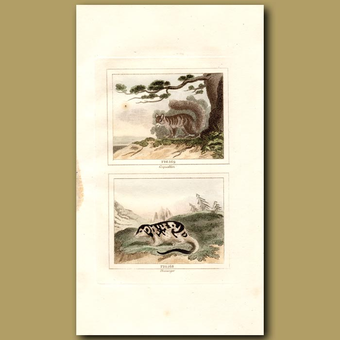 Antique print. Coquallin and Phalanger