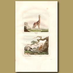Giraffe, Two toed Sloth and Tarsier