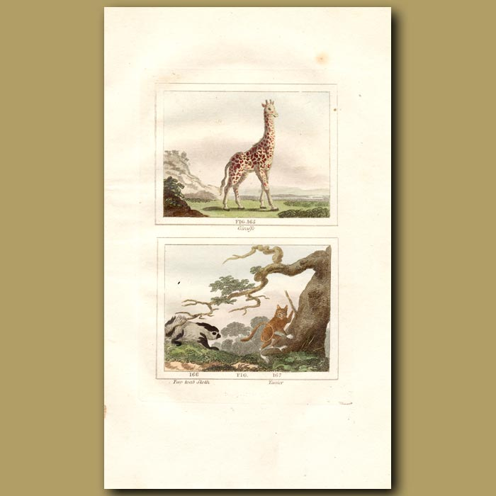 Antique print. Giraffe, Two toed Sloth and Tarsier