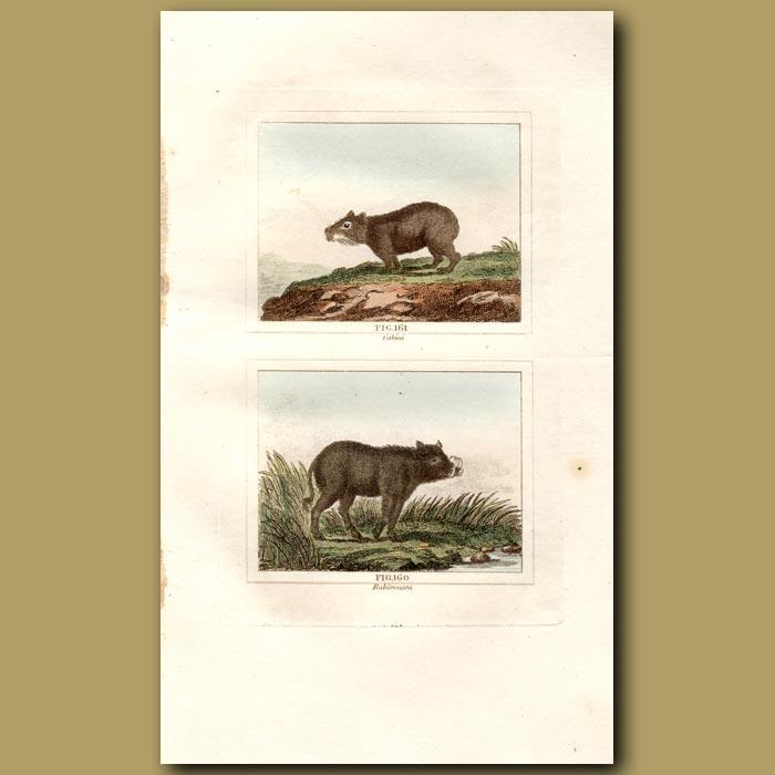 Antique print. Capybara and Babiroussa