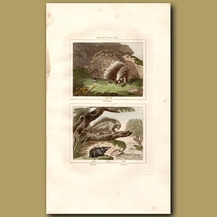 Antique print. Porcupine , Tendrac and Coendou